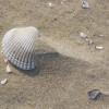 Im Wattenmeer sind gelegentlich sogar Schalen der fossilenTeppichmuschel zu finden, die bisvor ca. 100.000 Jahren lebte.