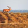Hirsche kommen in weiten Teilen der Landflächen des Nationalparks vor.