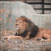 Die afrikanischen Löwen gehören zu den Highlights des Tierparks.