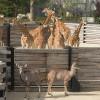 Im Zoo Paris leben 16 Giraffen.