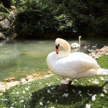 Sowohl exotische als auch heimische Tiere, wie der Schwan, leben im Parco Natura Viva