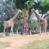 Hungrige Giraffen im Safaripark