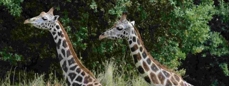 Giraffen im Zoo Pilsen