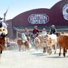 Bei der großen Buffalo Bills Wild West Show wird die Longhorn Herde durch die Straßen getrieben.