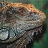 Der Grüne Leguan lebt in einem der Freilandgehege des Zoos.