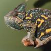 Das Jemenchamäleon - eine von 20 verschiedenen Echsenarten im Reptilienzoo.