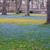 Die Blausternchen im Schlosspark blühen Ende März.