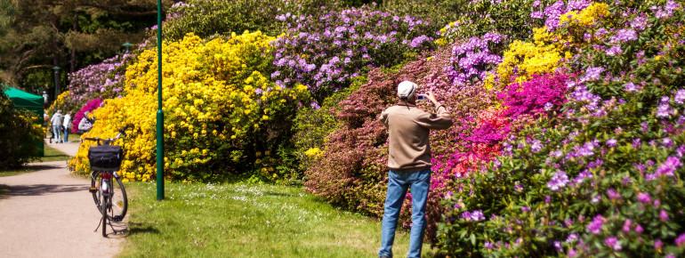 Die Blütenpracht der Rhododendren kann im Rhododendronpark in Graal-Müritz bestaunt werden.