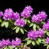 Etwa 60 verschiedene Rhododendronarten sind im Park angepflanzt.