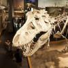 Der Tyrannosaurus Rex