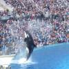 Die Orca-Show zählt zu den Hauptattraktionen des Parks