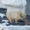 In der Arctic World kannst du Eisbären beobachten