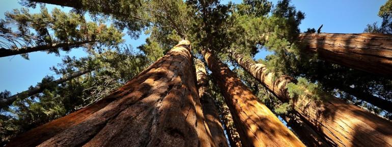 Die riesigen Sequoia Bäume sind weltbekannt.