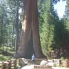 """Der Riesenmammut-Baum """"The Sentinel"""""""
