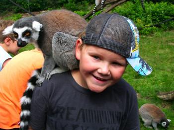 Auf Kuschelkurs mit einem Katta. Kattas gehören zu den Lemuren und leben auf Madagaskar - im Serengeti-Park kann man diese Tierart aus nächster Nähe bestaunen.