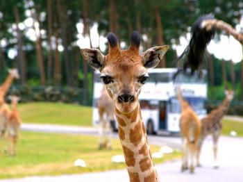 Bitte Lächeln! Die Giraffen sind liebe Park-Besucher gewohnt und scheuen sich nicht, bei einer Fahrt durch den Park auch mal einen Blick in ihr Auto zu werfen.