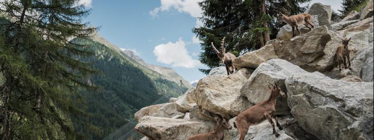 Im Freigehege kannst du die Steinböcke beim Klettern beobachten.