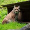 Im Steinwasen Park kannst du das seltenste freilebende Tier im Schwarzwald aus der Nähe betrachten.