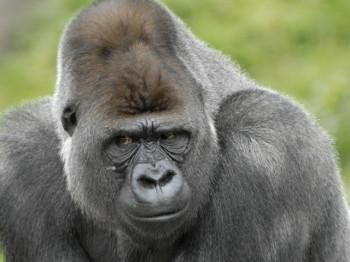 Besonders große Gorillafamilie