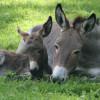 Die Esel leben auf einer begehbaren Weide gemeinsam mit Walliser Schwarzhalsziegen und Walachenschafen.