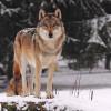 In den großzügigen Anlagen des Urwildparks werden europäische Tiere oder deren Rückzüchtungen gehalten.