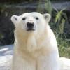 Eisbär Tonja heißt die Besucher des Tierpark Berlin herzlich willkommen.