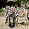 Na, wer hat schon mal die schwarz-weißen Streifen der Grévy-Zebras gezählt?