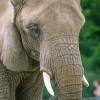 Auch Afrikanische Elefanten haben im Tierpark Berlin ein Zuhause gefunden.