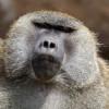 Ein 1,7 Kilometer langer Weg führt dich durch den Tierpark und bringt dich unter anderem zu diesem Affen.