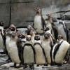 In der Eismeer-Landschaft können die Humbold-Pinguine schwimmen, klettern und rutschen.