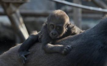 Gorillafamilie in Hellabrunn