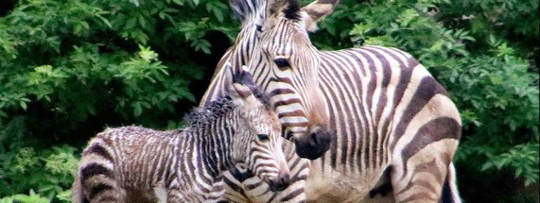 Highlight 2018: Erstmals seit 9 Jahren gab es wieder eine Zebrageburt in der Tierwelt Herberstein.