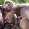 Die Dscheladas Affen fühlen sich in der Tierwelt Herberstein sichtlich wohl.