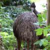 Emus haben eine enge Vater-Kind Bindung, die Henne legt Eier, spielt aber bei der Aufzucht keine Rolle.