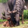 Dem senkrechten Streifen im Fell verdankt das Gnu seinen Namen.