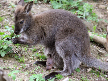 Bennett Kängurus ernähren sich hauptsächlich von Gräsern, Kräutern und Wurzeln.