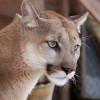 Der Puma zählt zur größten Kleinkatze und wird auch eleganter Meisterspringer genannt. In der Tierwelt Herberstein kannst du dieses besondere Tier aus der Nähe bestaunen.
