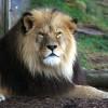In der Tierwelt Afrika kannst du die afrikanischen Löwen aus der Nähe beobachten.