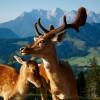 Am Berggasthof Wildalpgatterl finden Gäste sowie Einheimische eine besondere Attraktion: ein Gehege für Damwild.