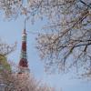 Kirschblüten und der Tokyo Tower - zwei Wahrzeichen Japans.