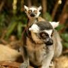 Auf dem Madagaskar-Dorfplatz tummeln sich freilaufende Kattas.