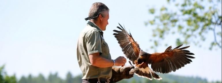 Falkner während der Greifvogelschau im Vogelpark Steinen.