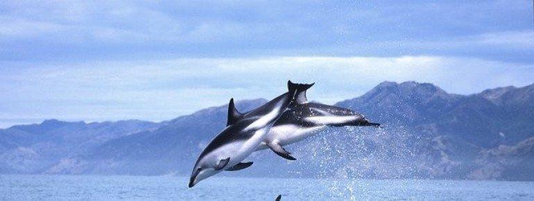 Springende Schwarzdelfine