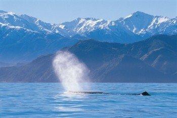 Wal an der Wasseroberfläche, im Hintergrund das Bergpanorama von Kaikoura