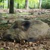 Auch Wildschweine leben auf dem 42 Hektar großen Areal des Wildfreigeheges.