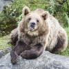 Braunbär im Ranua Wildlife Park