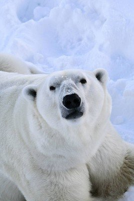 Polarbär im Ranua Wildlife Park