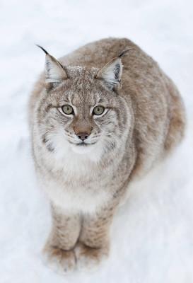Lynx im Ranua Wildlife Park