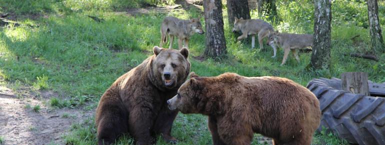 In der Raubtier-WG leben Bären und Wölfe in einem Gehege.