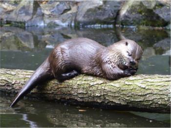 Der Otter lebt sowohl im Wasser, als auch außerhalb.